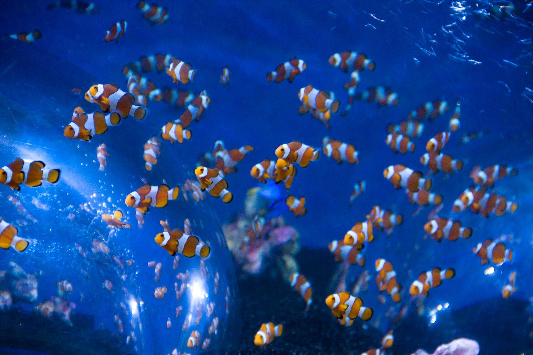 Sea Life Birmingham Clownfish