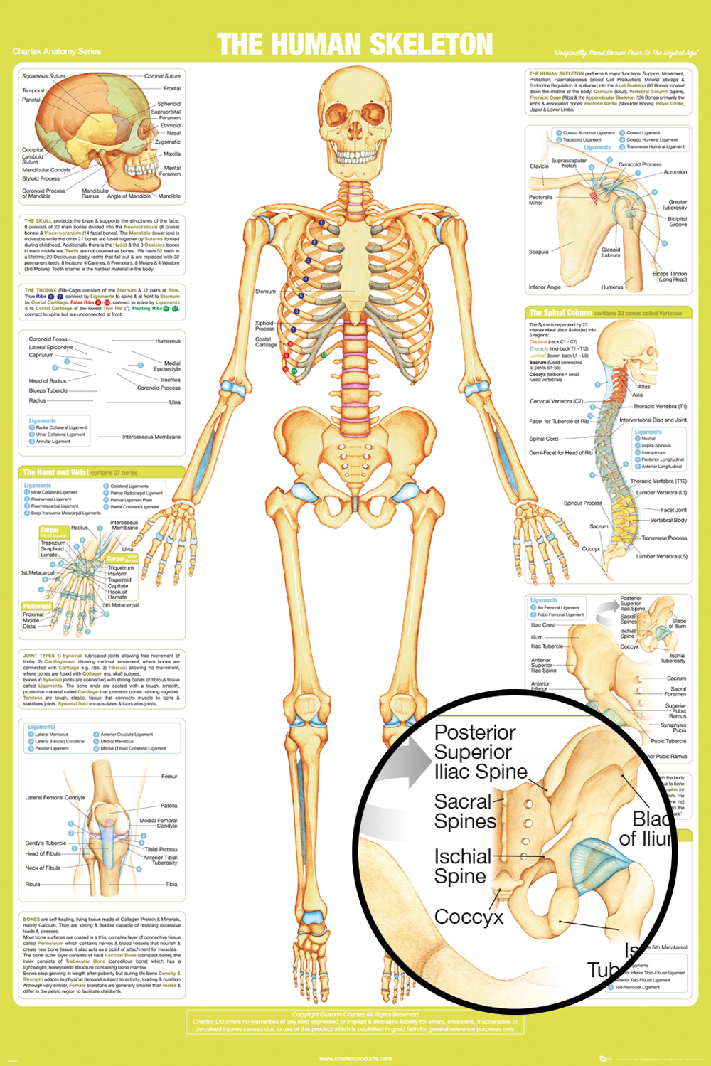 Chartex Skeleton poster